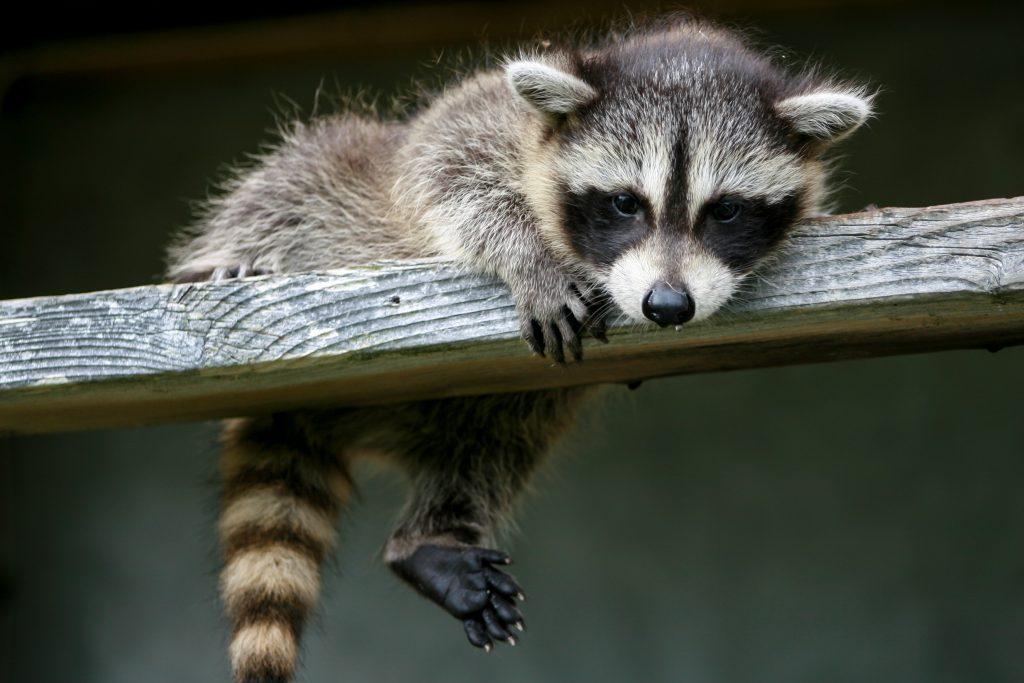 rabies in raccoons