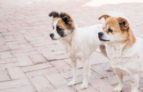 adopting-dog