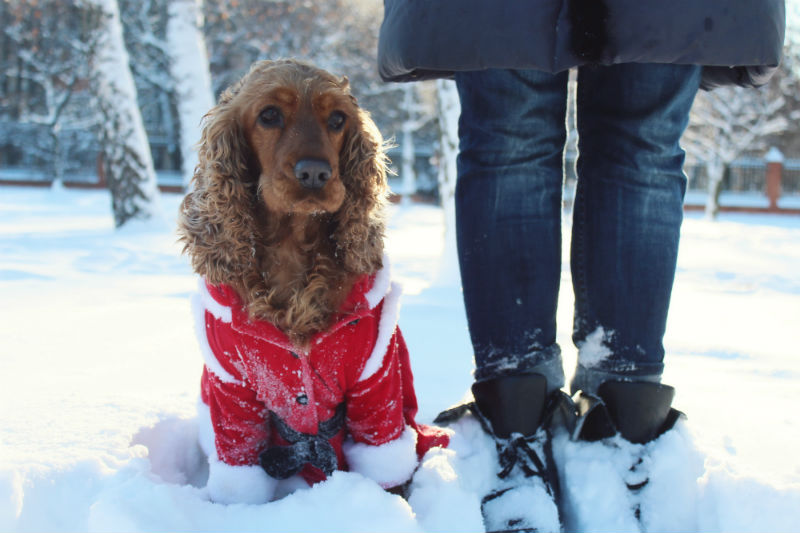 Dog with Xmas clothes in snow