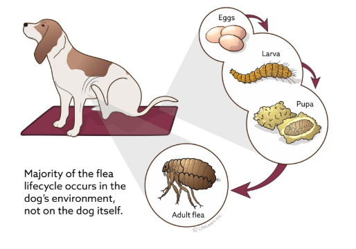 Flea lifecycle on the dog and in the dog's environment