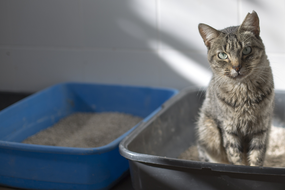 Cat in a litter box and an empty litter box next to it