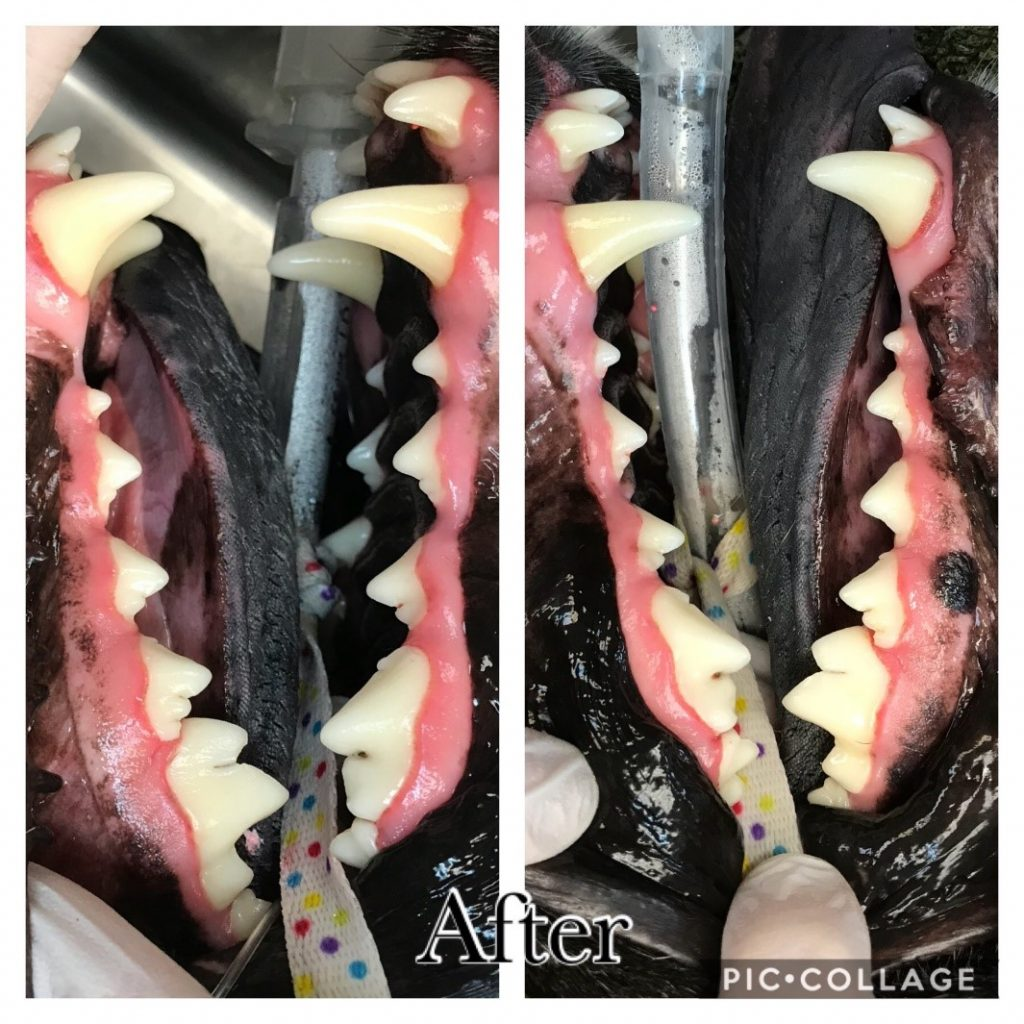 Dog's teeth after dental procedure