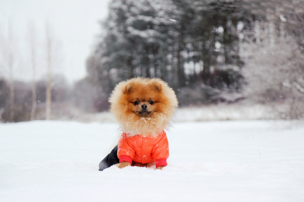 Dog wearing a coat in the snow
